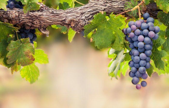 Виноградная ветка
