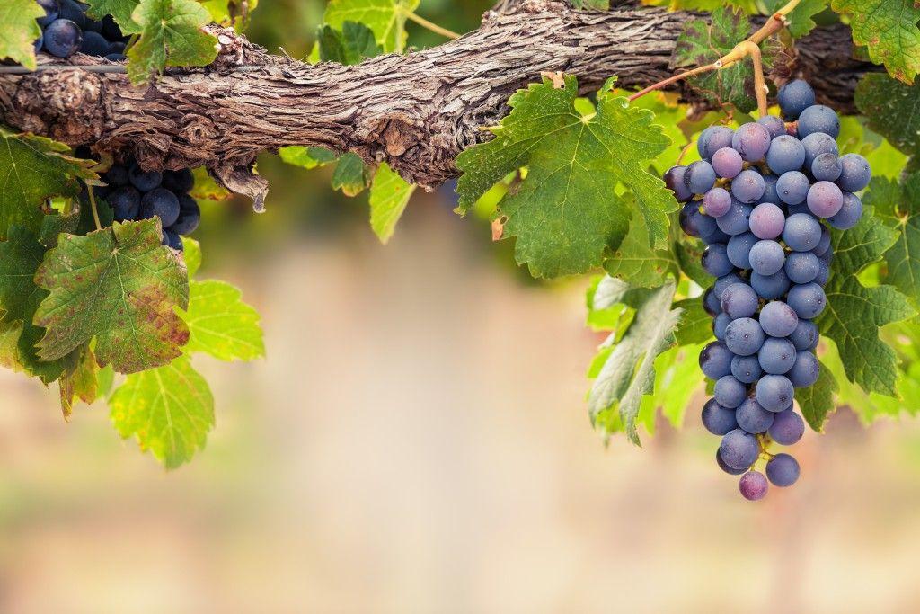 Инструкция по применению медного купороса для винограда как приготовить раствор для обработки