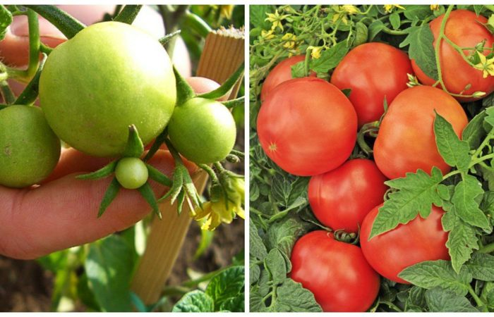 Зеленые помидоры и поспевшие красные