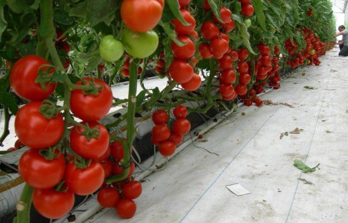 Тепличные томаты Биг биф