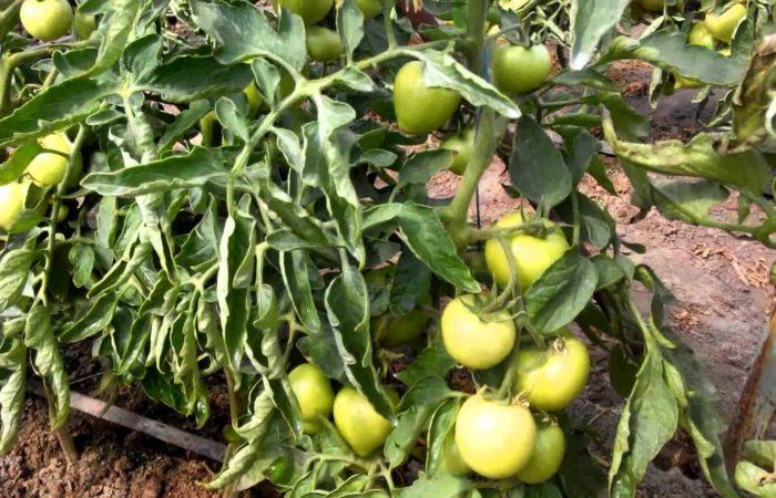 Грибковое поражение листьев томата