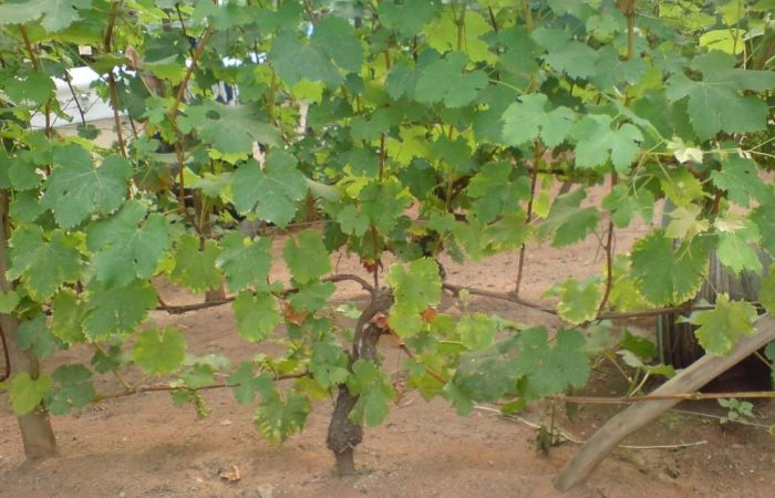 Растущая виноградная лоза