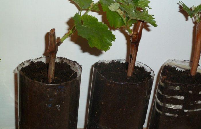 Черенки винограда в пластиковых бутылках