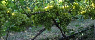 Белый растущий виноград