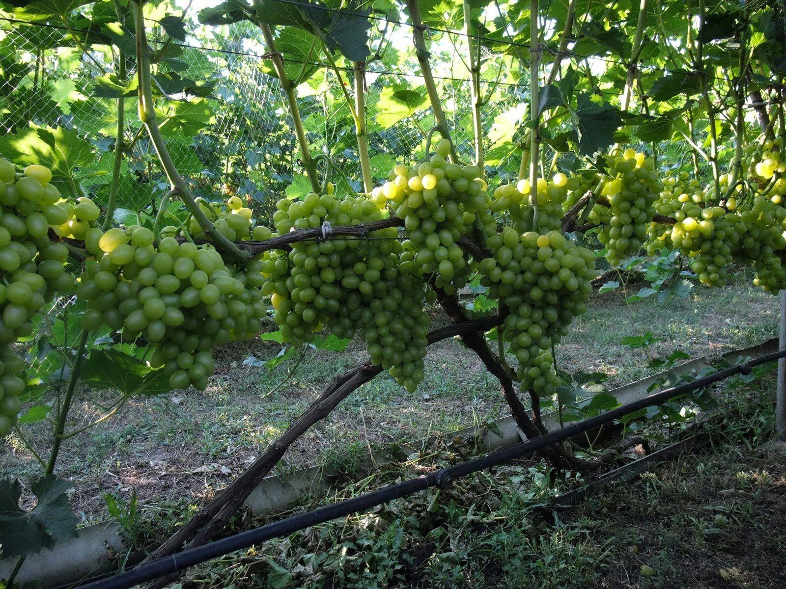 Можно ли черенковать виноград осенью