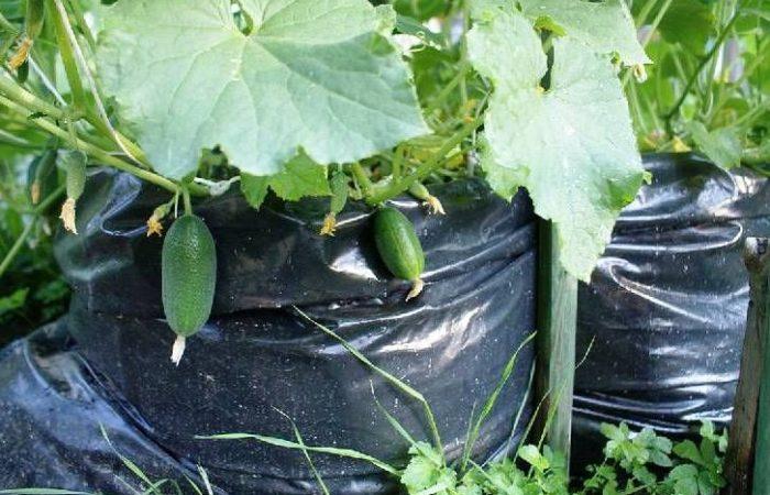 Огурцы посажены в пакетах