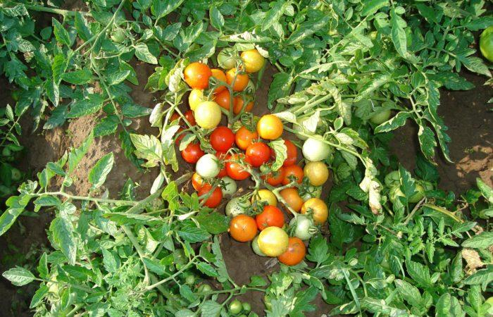 Куст томатов в открытом грунте
