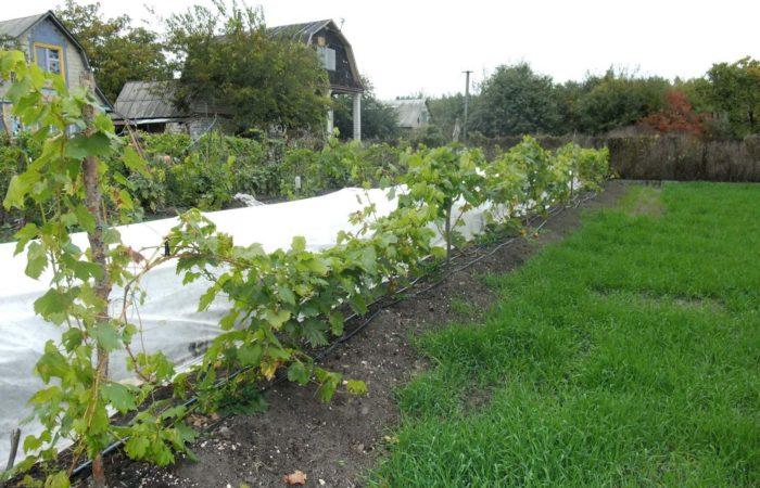 Посаженная виноградная лоза
