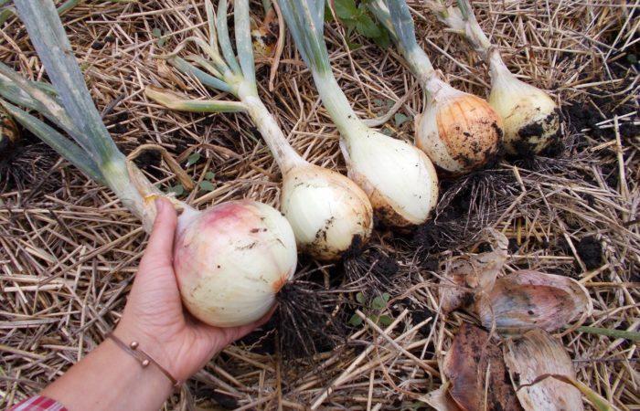 Несколько крупных луковиц