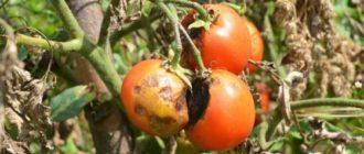 Завядшие помидоры