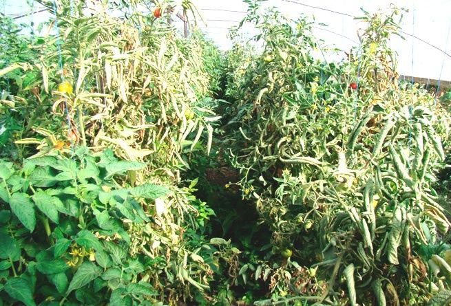 Увядшие томатные кусты