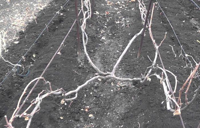 Виноградная лоза без листвы