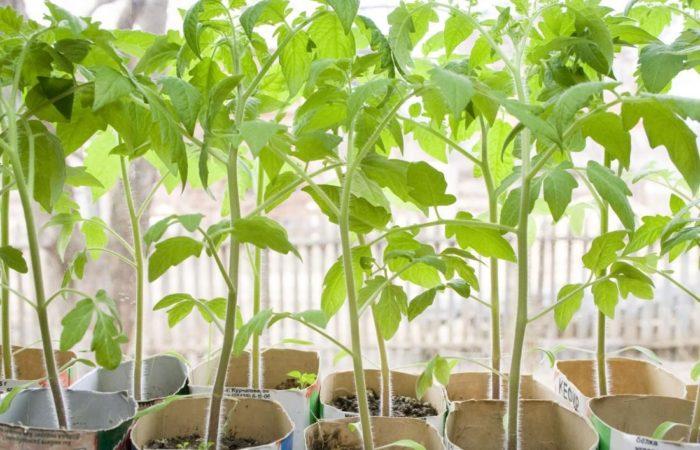 Рассада томатов в картонных стаканчиках у окна