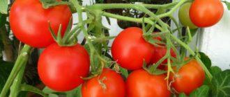 Поспевшие на подоконнике помидоры