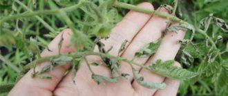 Зараженные томатные листья