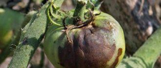Бурелый сгнивший помидор