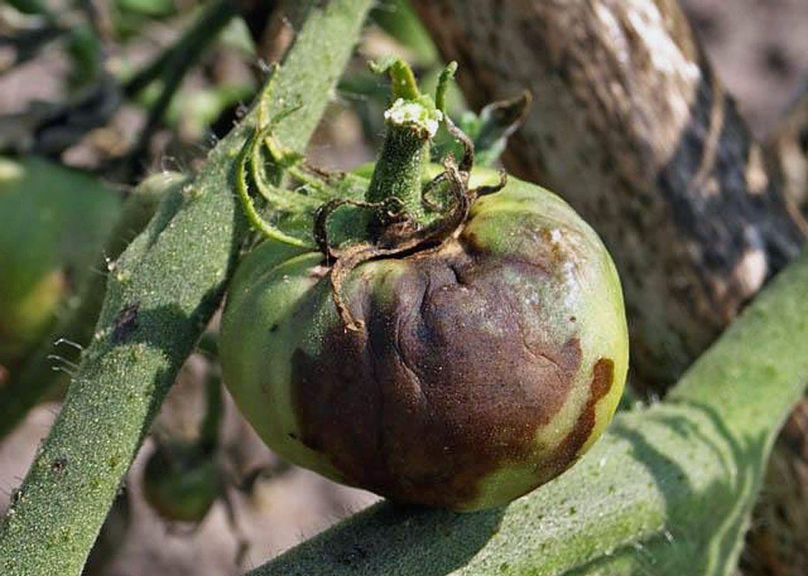 Кладоспориоз томата: какие сорта устойчивы к болезни
