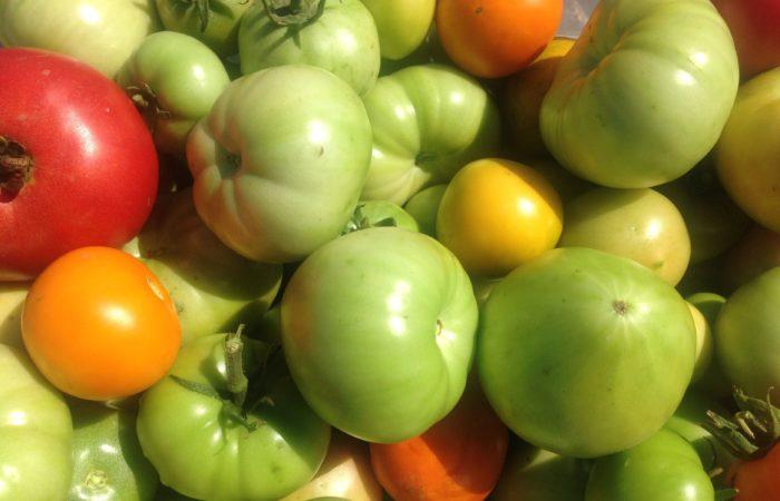 Собранный урожай зеленых томатов