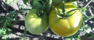 Недозревшие растущие помидоры на кустах