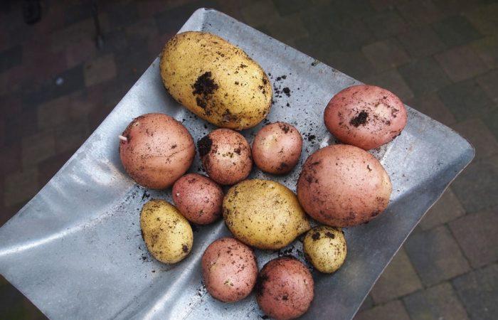 Картофель на лопате