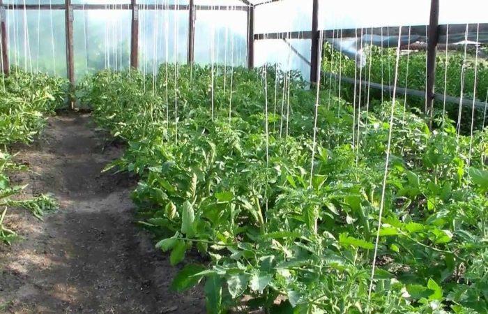 Тепличные подвязанные кусты томатов