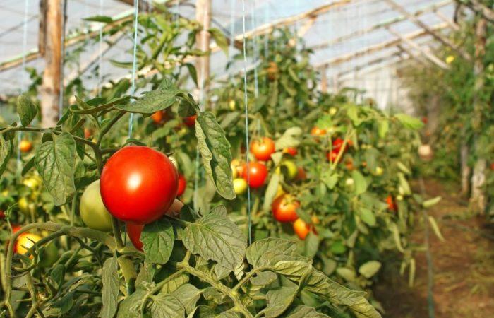 Подвязанные томаты в теплице