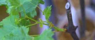 Виноградный черенок