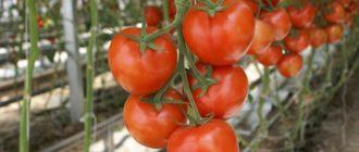 Красные помидоры на ветках