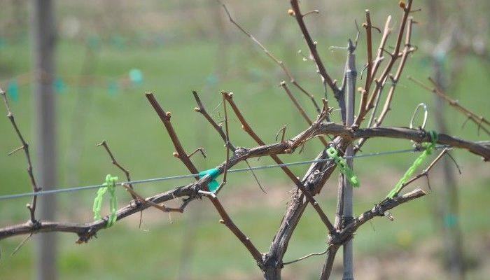 Ветви винограда без листьев