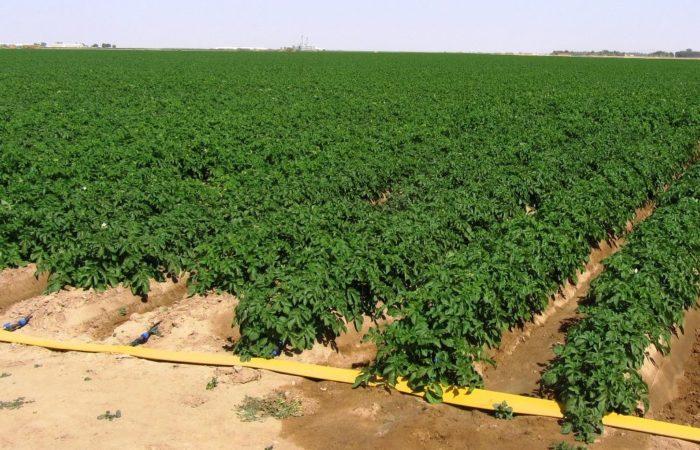 Орошение картофельного поля