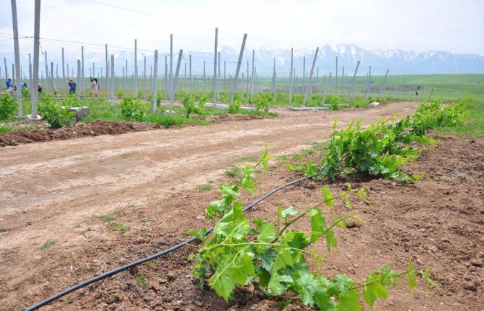 Виноградная лоза в горной местности
