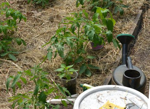 Лейка рядом с томатными грядками