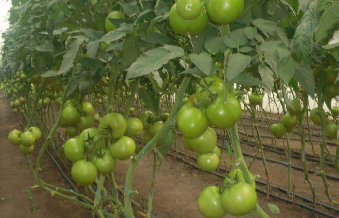 Зеленые помидоры Полбиг