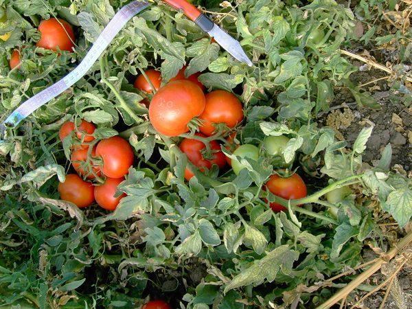 Растущие кусты томатов Полбиг
