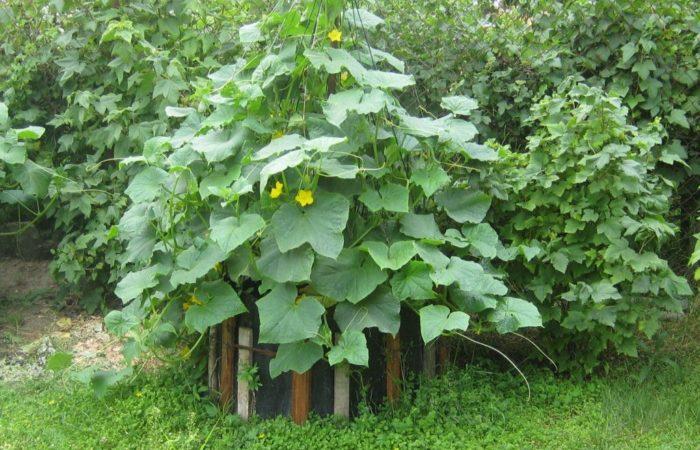 Огурцы растут в открытом грунте