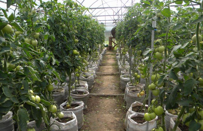 Растущие парниковые томаты