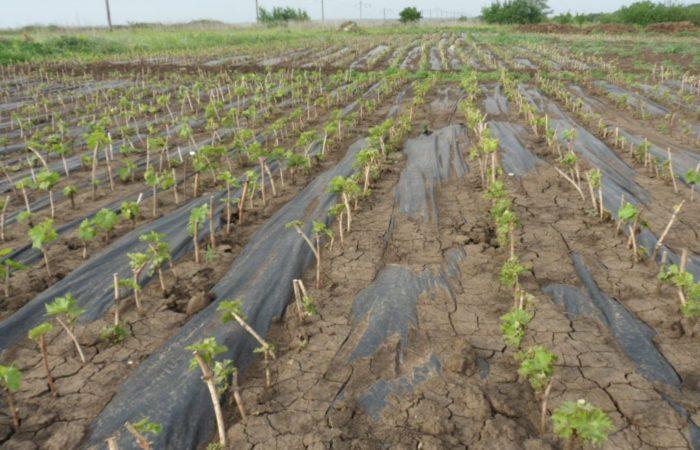 Высаженные черенки винограда