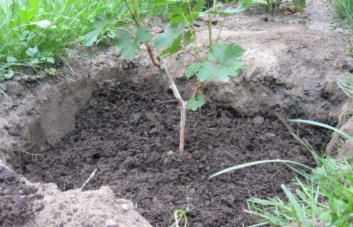 Сажанец винограда в грунте