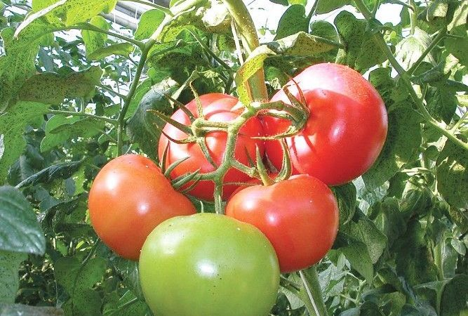 Растущие томаты Волгоградский скороспел