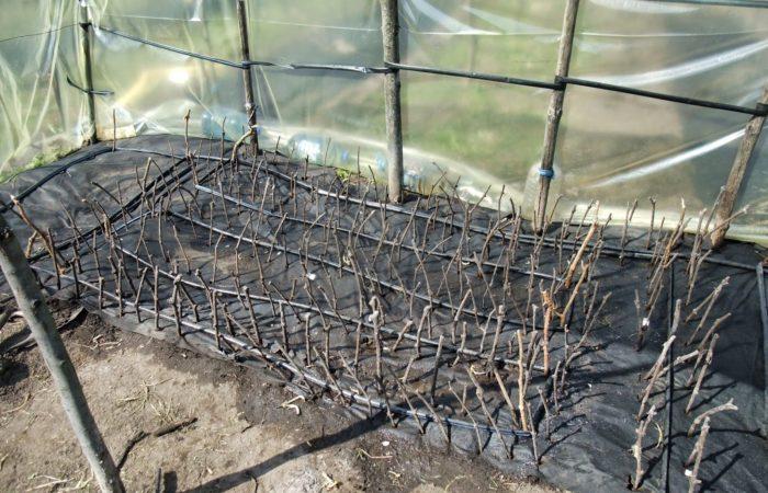 Черенки винограда в теплице