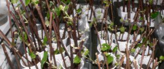 Виноградные черенки