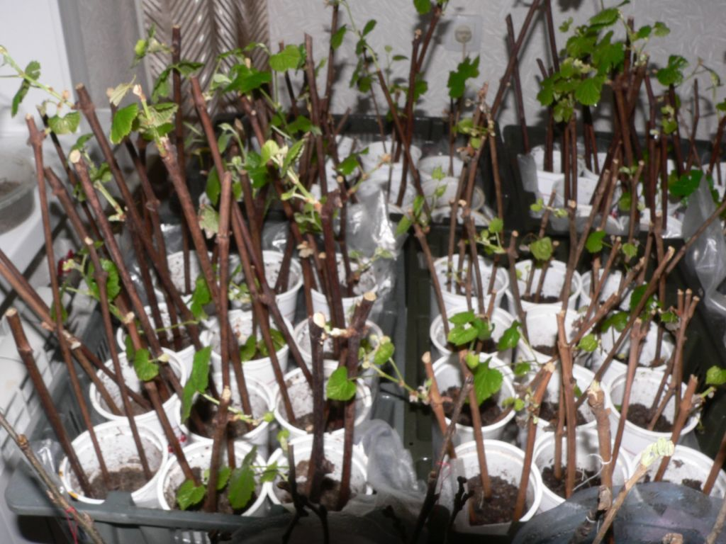 Долго, но не сложно — постигаем азы разведения винограда в домашних условиях из заготовленных черенков