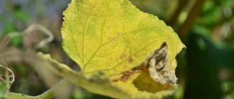 Желтый огуречный лист
