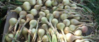 Собранный урожай лука