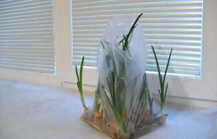 Зеленый лук в полиэтилене на подоконнике