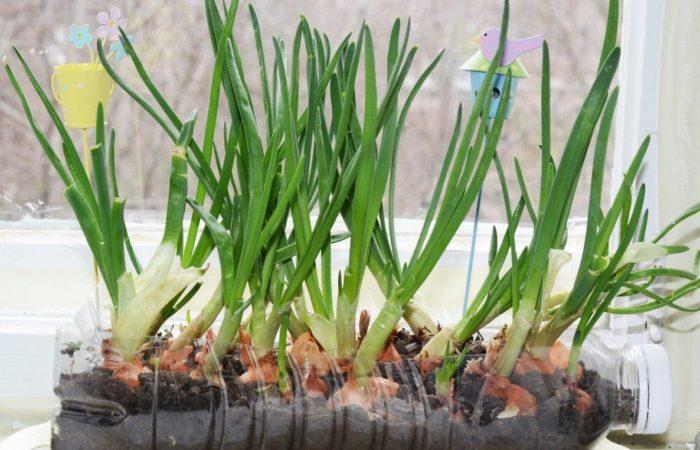 Зеленый лук посажен в пластиковой бутылке