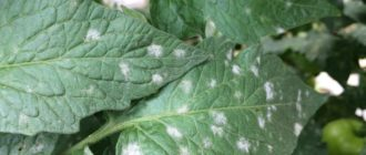 Белые пятна на листьях