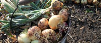 Урожай лука в ведре