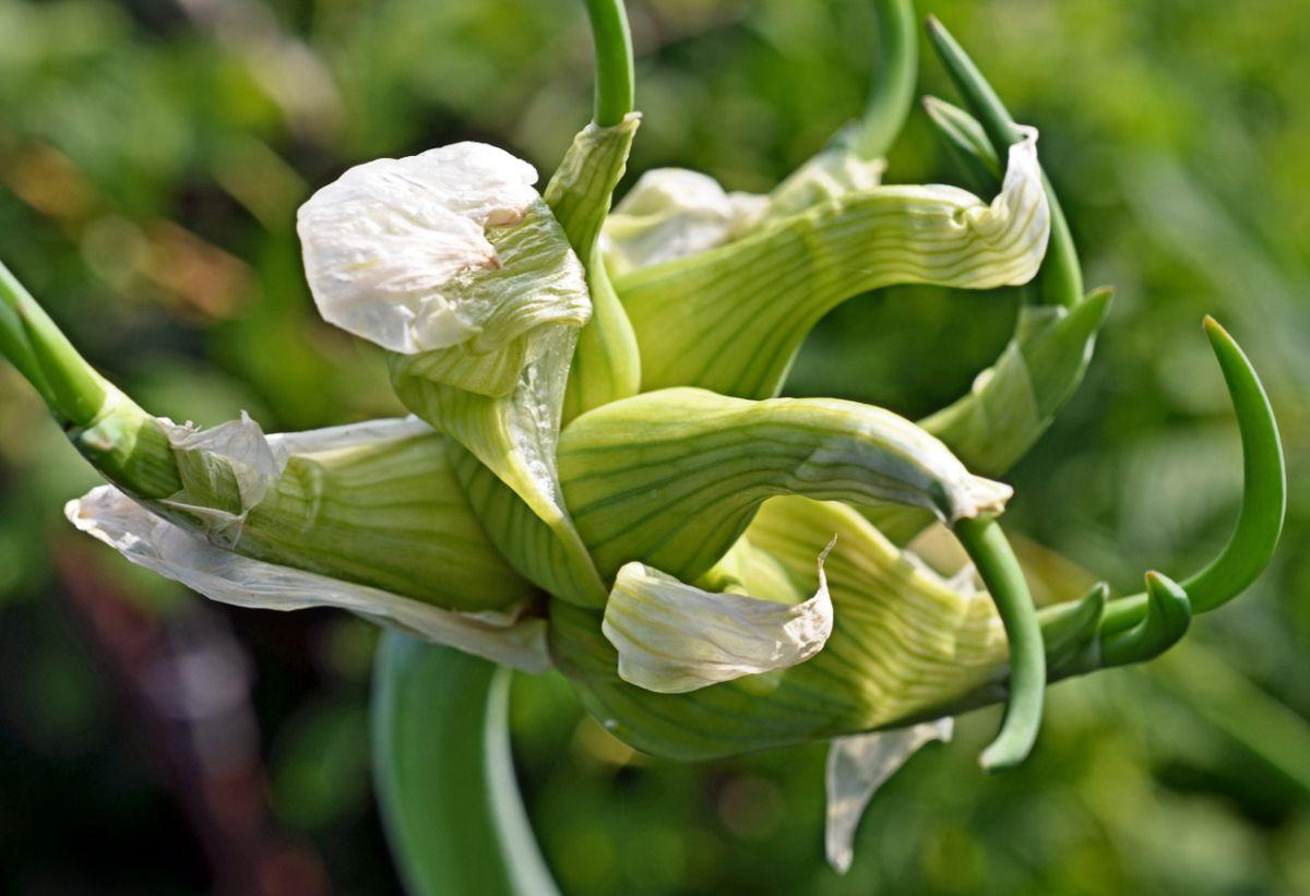 Лук многоярусный египетский посадка уход и выращивание полезный свойства