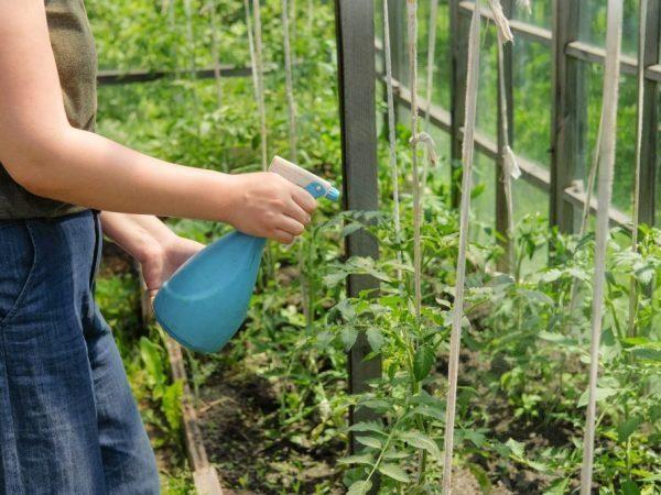 Опрыскивание томатов подкормкой